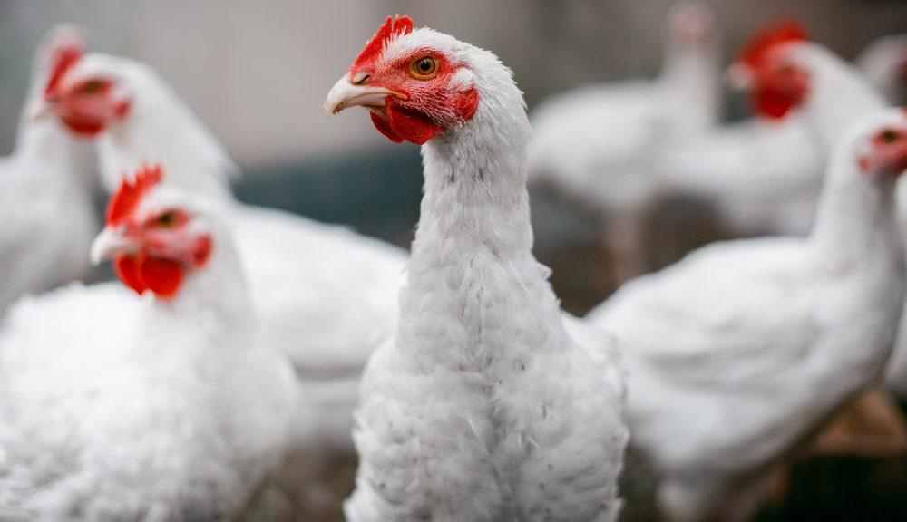 standarisasi ayam broiler